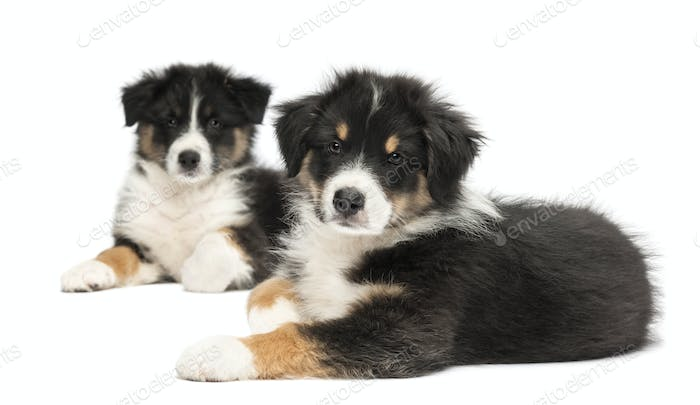 Two Australian Shepherd puppies, 2 months old, lying, focus on foreground against white background