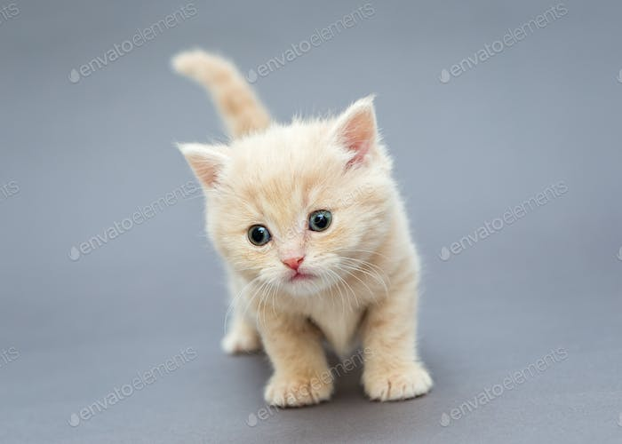 Small British kitten beige