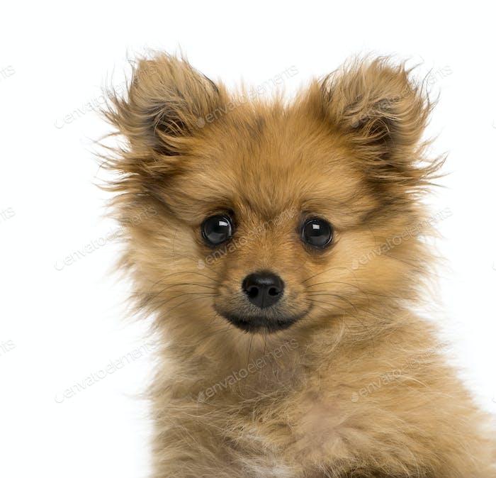Headshot of a German Spitz puppy (3 months old)