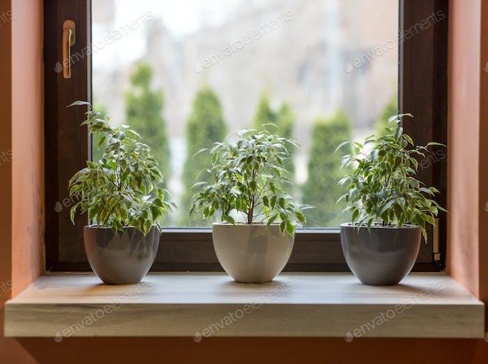 Kräuter in Pflanztöpfen wachsen auf einer Fensterbank im Café Interieur