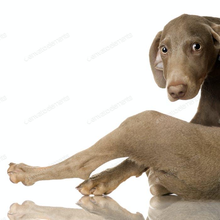 puppy Weimaraner