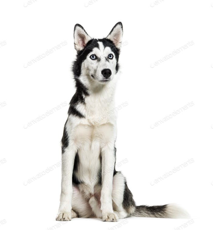 Siberian Husky, 6 months old, sitting in front of white background