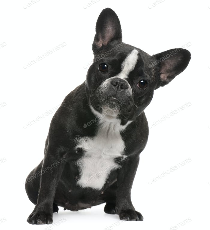 French Bulldog, 12 months old, sitting in front of white background
