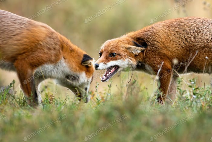 Two red fox fighting on meadow in autumn nature