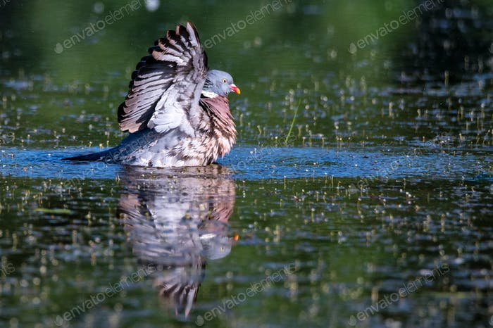 Wood Pigeon or Columba palumbus washes in water