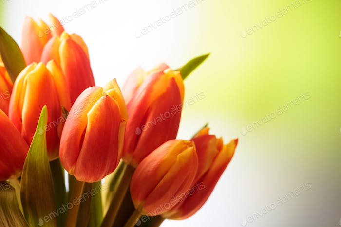 Tulips bouquet close up, blur nature background, copy space