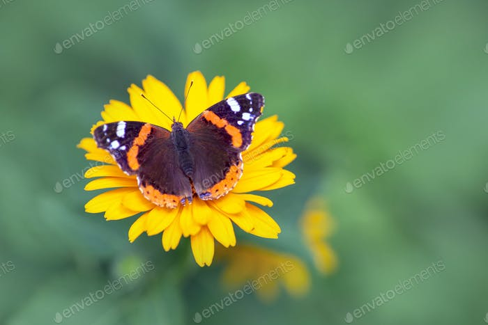 Roter Admiral Schmetterling