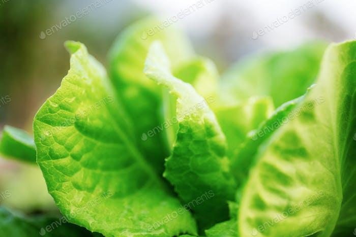 Closeup vegetable with sunrise