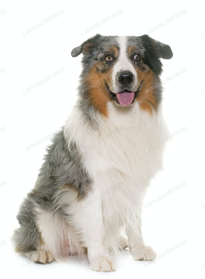 australian shepherd in studio