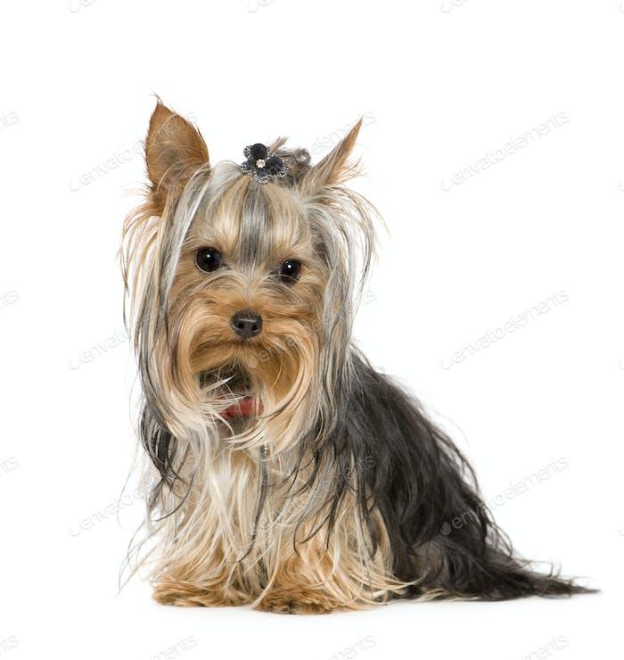Yorkshire Terrier (10 months)