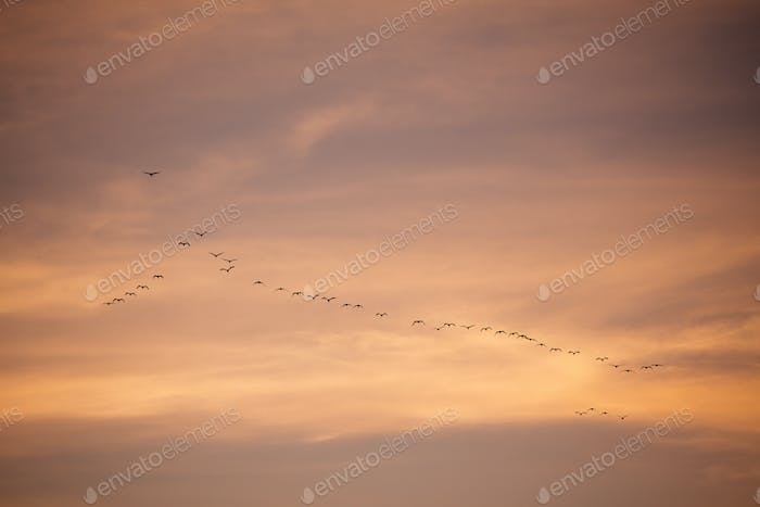 Flock of birds in sky before sunset in evening