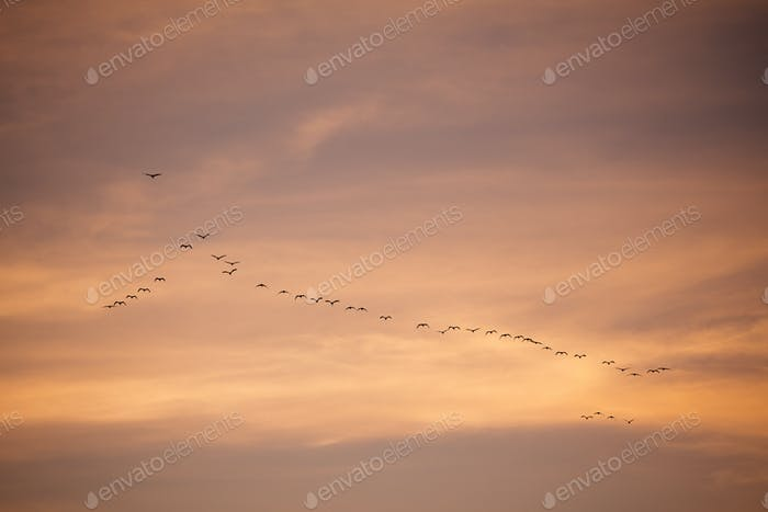 Flock of birds in sky before sunset in evening