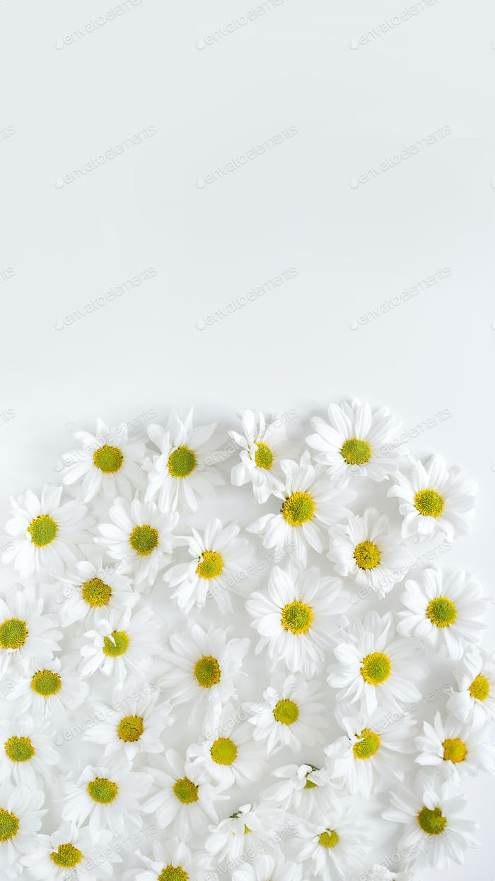 Floral background. Flat lay spring and summer daisy flowers with copy space. Flat lay.