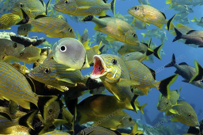В рамках повседневной деятельности на оживленном коралловом рифе, Bluestriped grunt, Haemulon sciurus, открывает