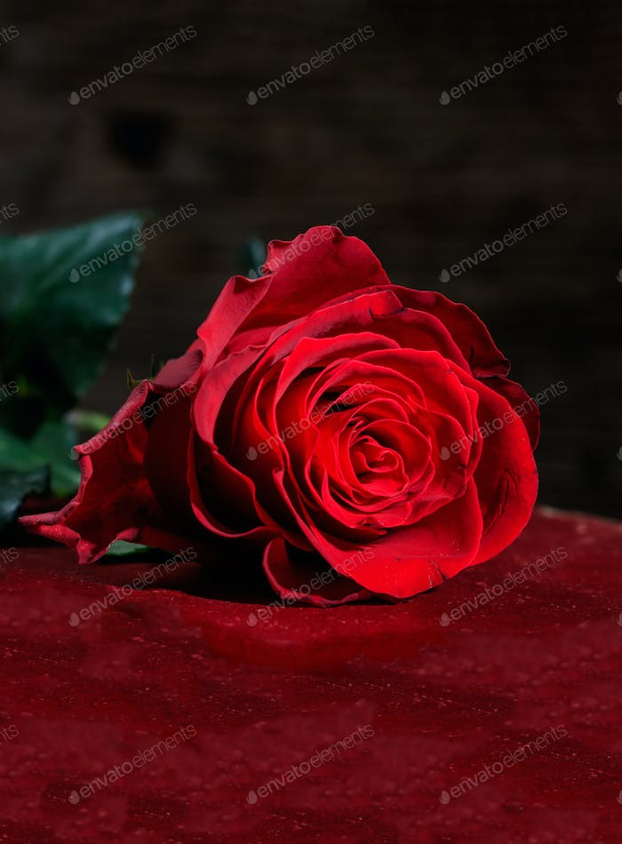 Vertical view of red rose on dark background.
