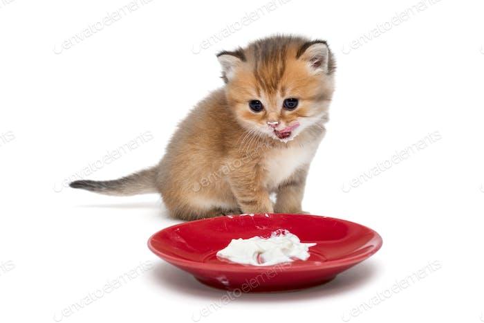 Little kitten eating sour cream