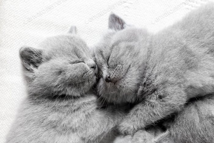 Two sleeping cats snuggling. British shorthair.