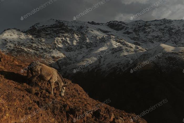 Pferd von Marokko