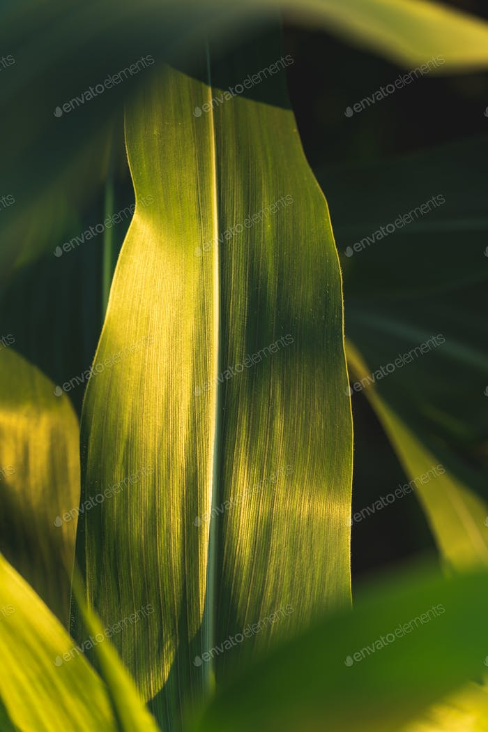 Green growing leaves of maize in a field.