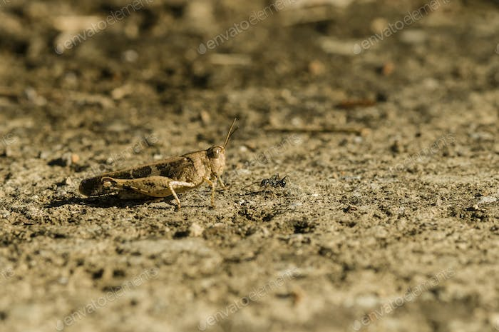 Brown cricket camouflage