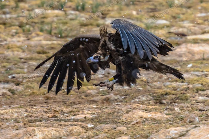 Cinereous vulture taking off
