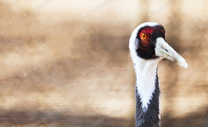 Beautiful white neck crane