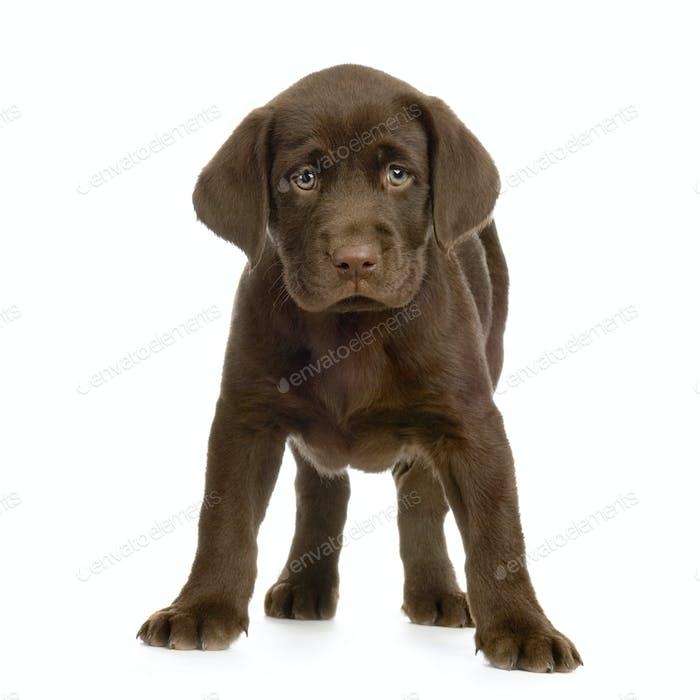 Labrador Retriever Schokolade