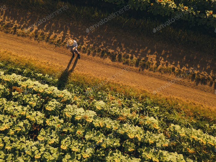 Farmer agronomist using drone to examine sunflower crop field