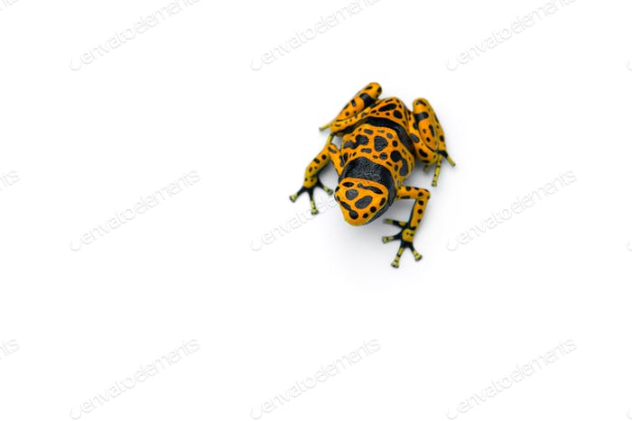 The yellow-banded poison dart frog isolated on white background