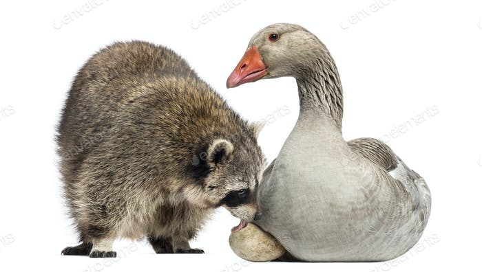 Racoon licking the egg of a Domestic goose sitting on it, isolated on white
