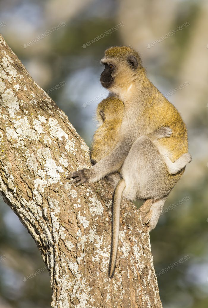 Vervet monkey mother holding her infant tight