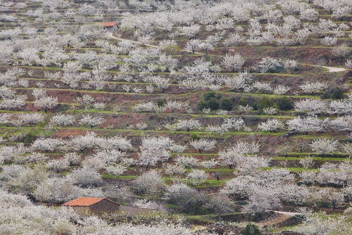 Cherry blossom in Jerte Valley hills, Caceres. Spring Spain. Seasonal