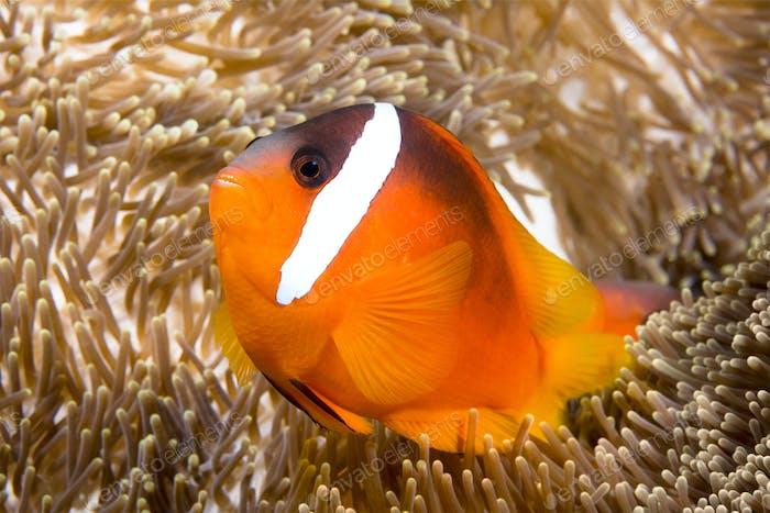 Bright orange clownfish