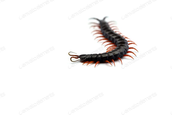Giant centipede isolated on white background