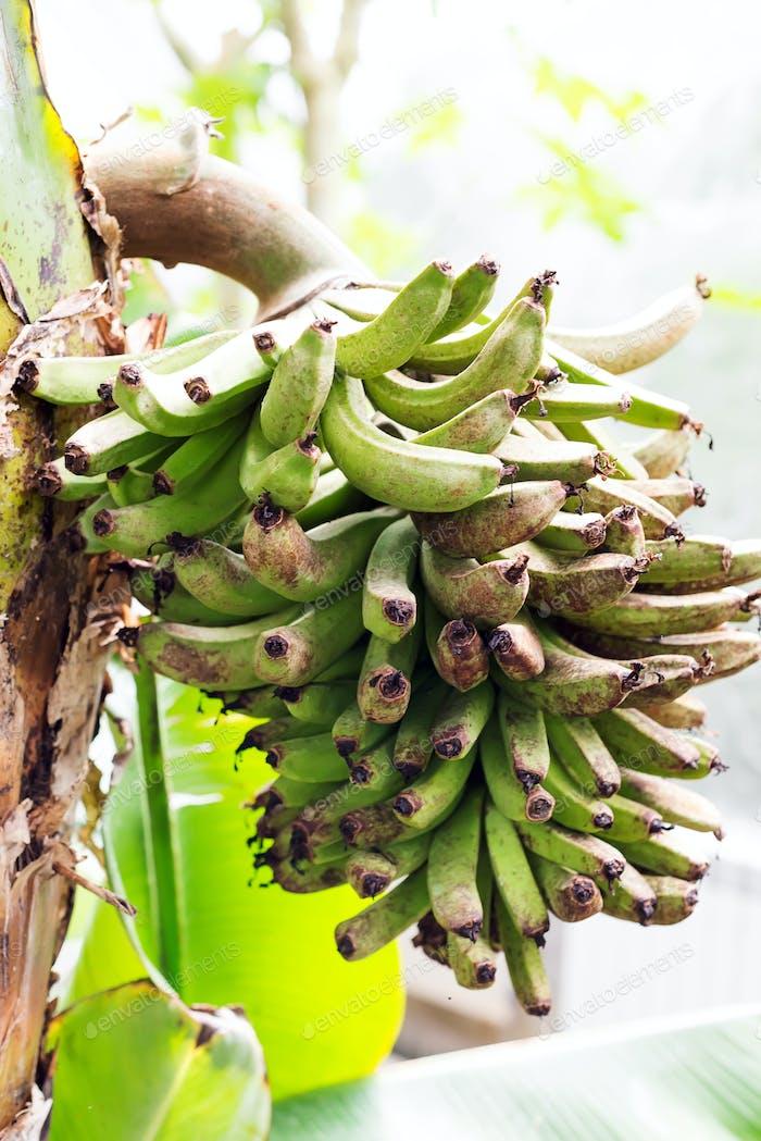 Grüne Banane Früchte auf dem Ast auf outdoor