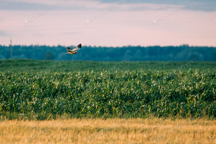 The Hen Harrier (circus Cyaneus) Wild Bird Flies Over Field Rura