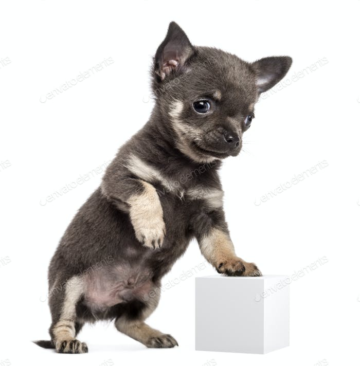 Chihuahua puppy, 7 weeks old, standing on hind legs and leaning