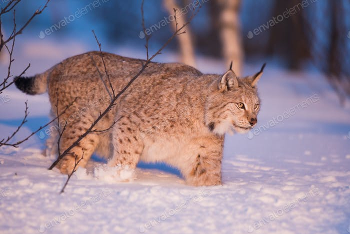 Llynx in the winter sunset
