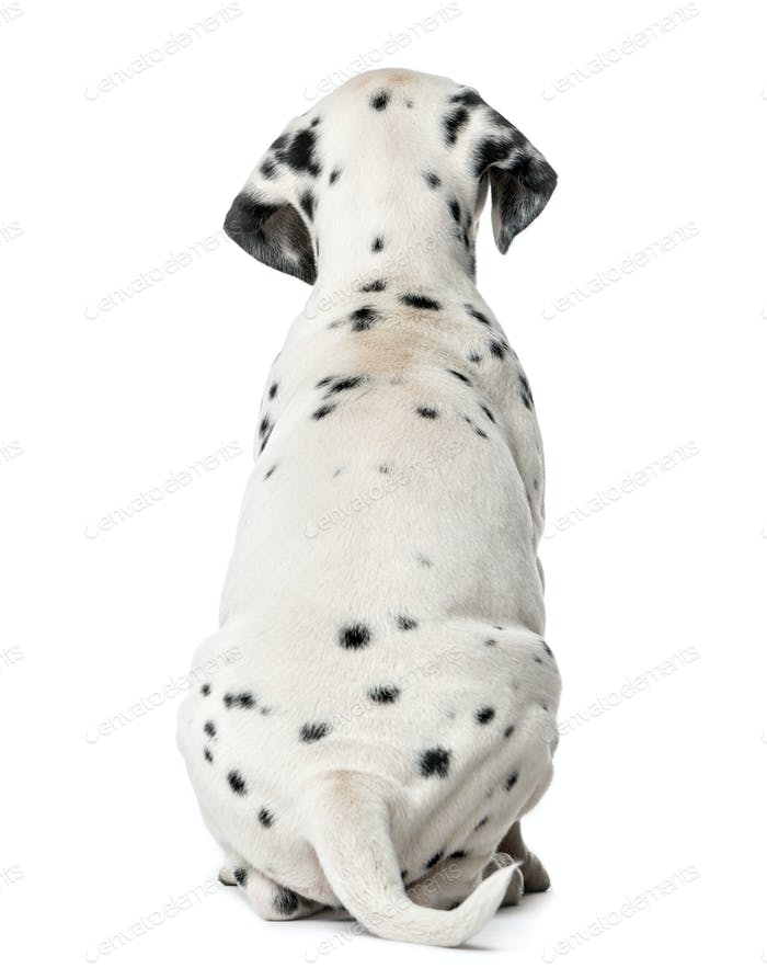 Rear view of a Dalmatian puppy sitting in front of a white background