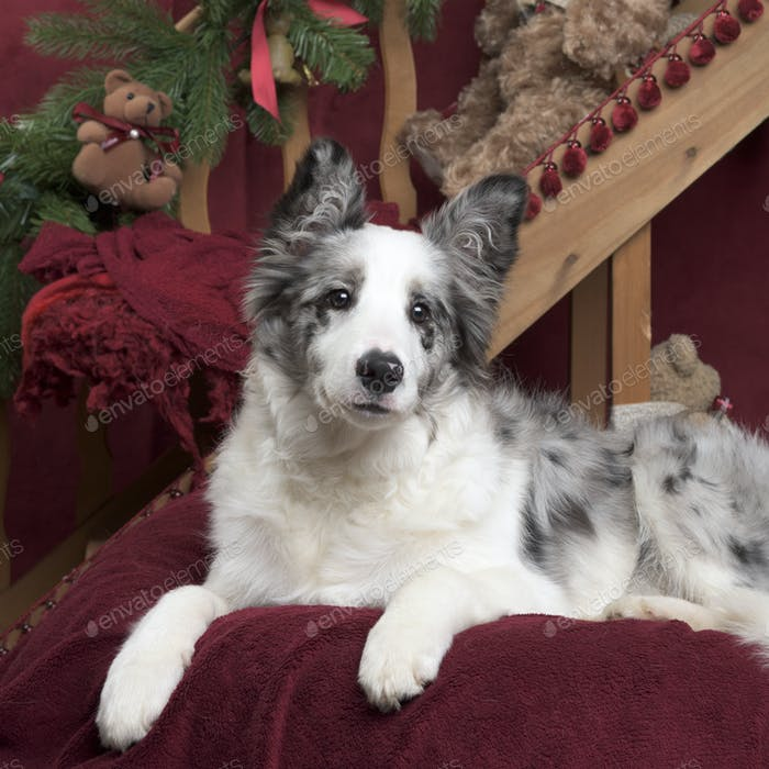 Border Collie sitting in Christmas decoration