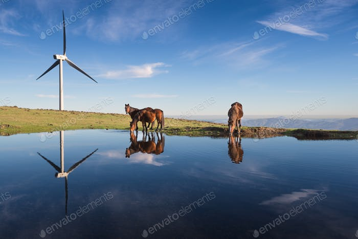 Three horses drink in a pond