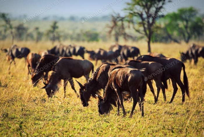 Wildebeests herd, Gnu on African savanna