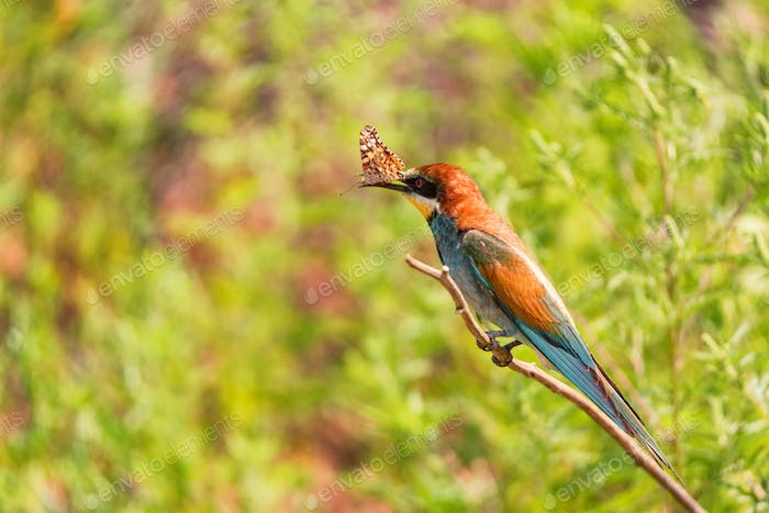 Kingfisher or Alcedo atthis perches on branch with batterfly in its beak