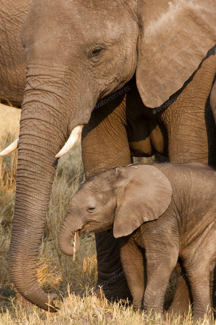 African elephant and calf, Okavango Delta, Botswana