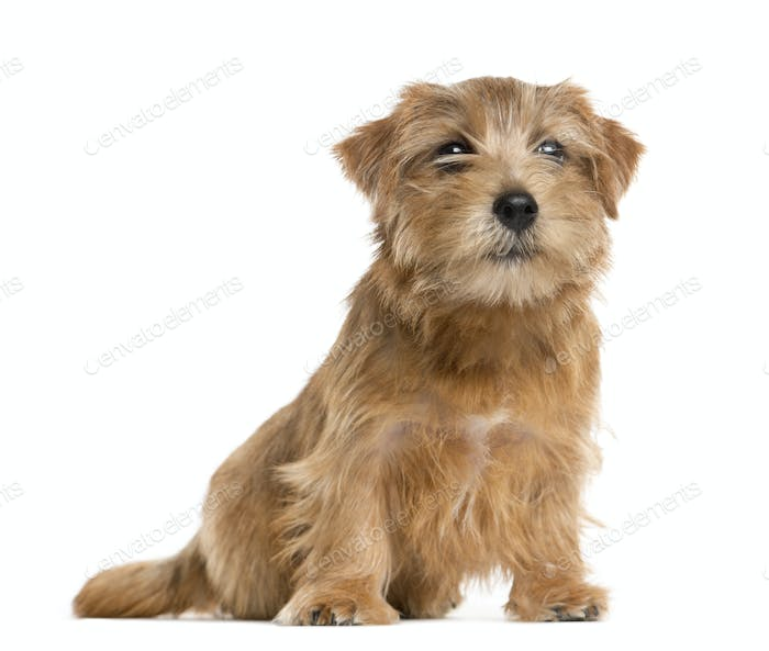 Mixed-breed Dog sitting and looking the camera, Dog, pet, studio photography, cut out