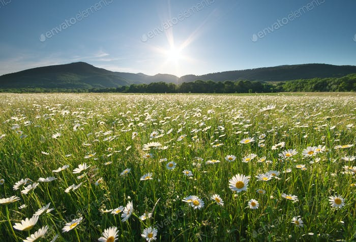 Spring daisy flowers  in meadow.