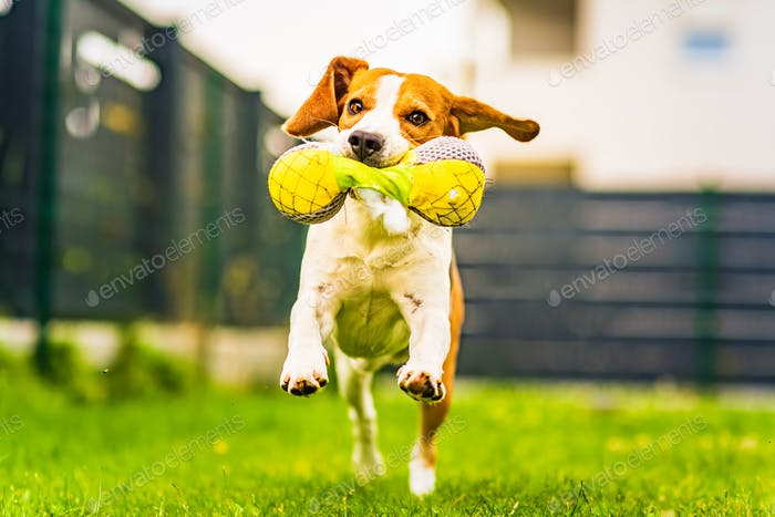 Cute tricolor beagle dog runs toward camera with toy in his mouth