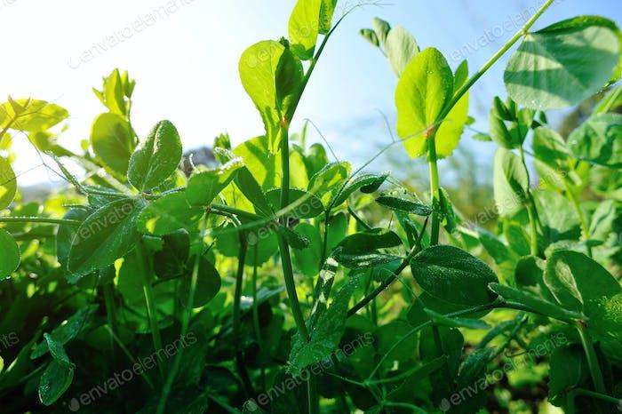 Green pea crops in spring garden