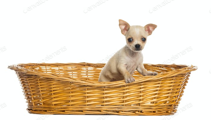 Chihuahua puppy in big wicker basket, isolated on white