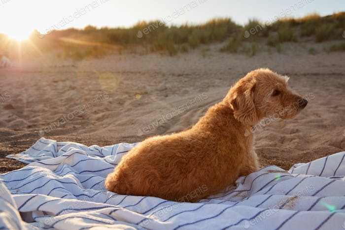 Pet Dog Lying On Beach Blanket As Sun Sets And Flares Behind